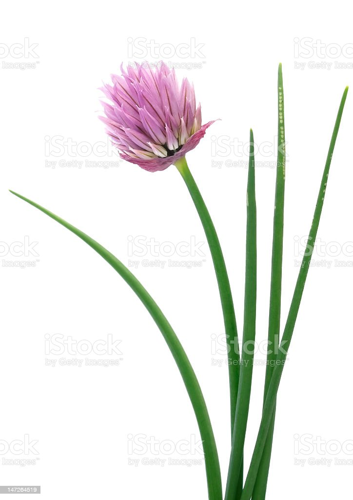 Pink chives flower on white background stock photo