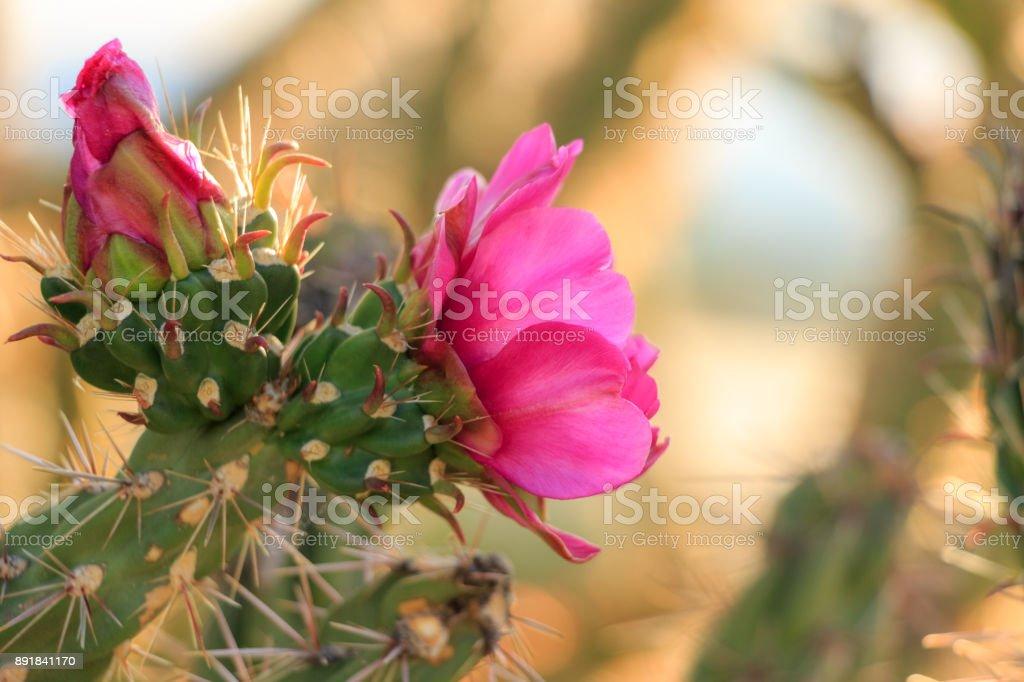 Pink Cholla Flowers stock photo