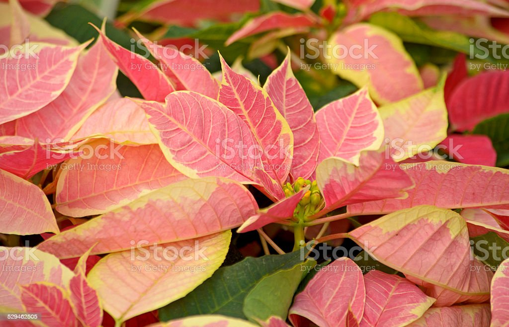 Pink Christmas Poinsettia stock photo