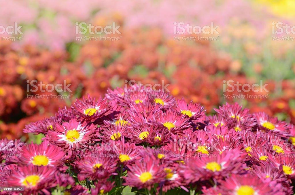 Pink chrysanthemum. Beautiful autumn flower in a garden decor. Floral background for design. stock photo