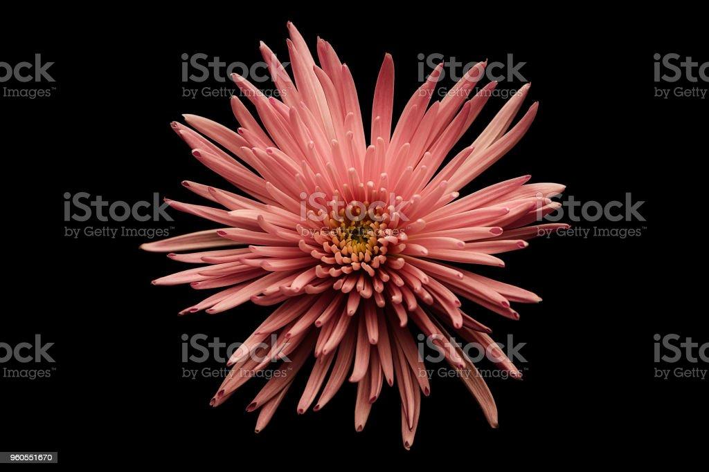 Pink Chrysanthemum displayed on Black. stock photo