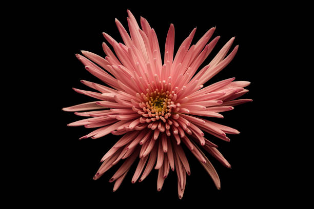 Pink Chrysanthemum displayed on Black. stock photo
