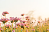 Pink Chrysanthemum flower in field with flare from sunshine and sweet warm bokeh background.