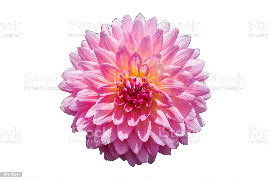 Pink Chrysanthemum Flower Isolated on White Background. stock photo