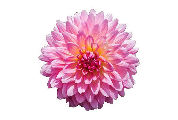 Crisântemo rosa flor isolada no fundo branco. - foto de acervo