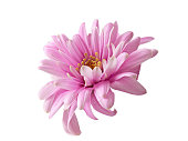 istock Pink chrysanthemum flower isolated 1203120633