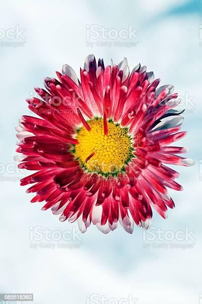 Pink chrysanthemum flower picture id585518360?b=1&k=6&m=585518360&s=612x612&h=yaqiborvvpfyoerpnv1nzkla2hsjbjml4jlcpjr5yei=