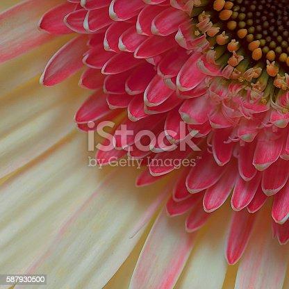 istock Pink chrysanthemum flower 587930500
