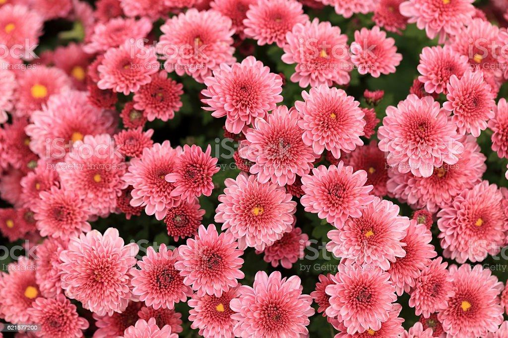 bouquet de fleurs de chrysanthème Rose arrière-plan. photo libre de droits