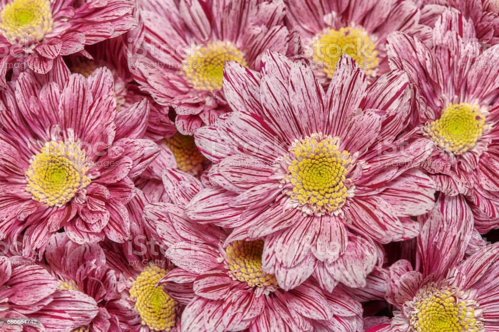 Rosa Chrysanthemen, floraler Hintergrund Lizenzfreies stock-foto
