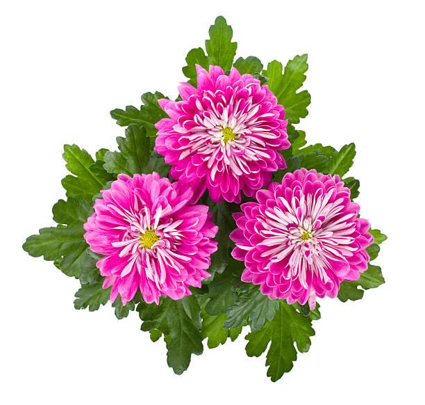 rosa chrysantheme blumen - blumentopf groß stock-fotos und bilder