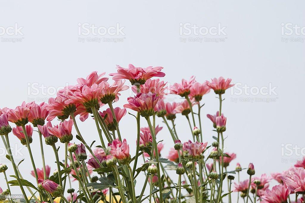 pink chrysanthemum flowers royalty-free stock photo