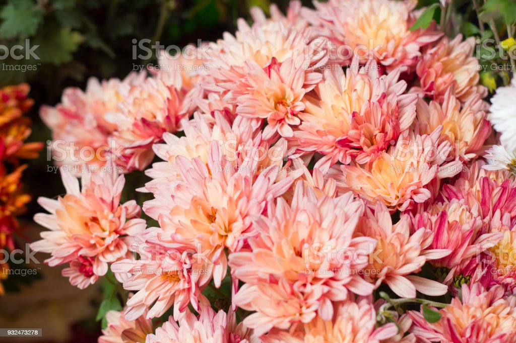 Pink chrysanthemum flowers stock photo