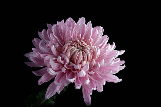 Pink chrysanthemum on black picture id174783805?b=1&k=6&m=174783805&s=612x612&w=0&h=nradtsapwj8svubcjwcjqrn czmxx7qg9 r oxg2ocg=