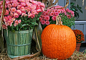 Pink chrysanthemums in a basket with a pumpkin on a hay bale on a porch
