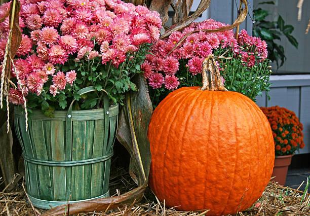 pink chrysanthemums with a pumpkin - chrysant stockfoto's en -beelden