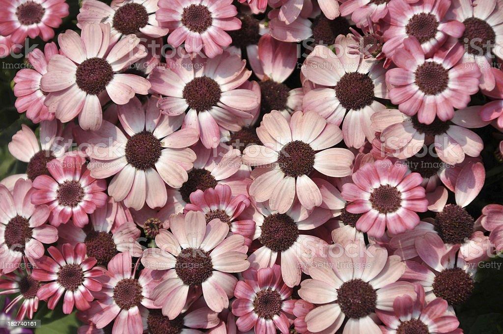 Pink Cineraria / Daisy / Chrysanthemum stock photo