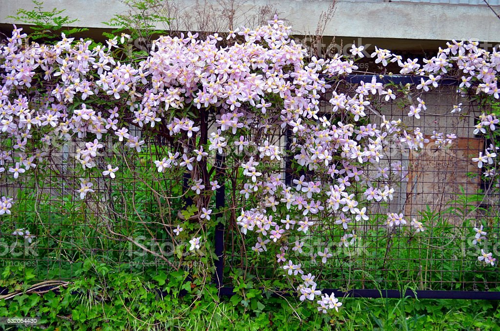 pink clematis climbing on garden gate stock photo