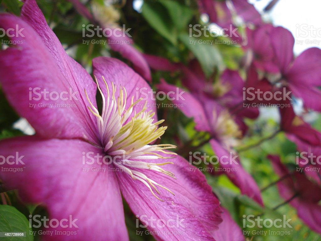 Pink Clematis Flower 2 stock photo