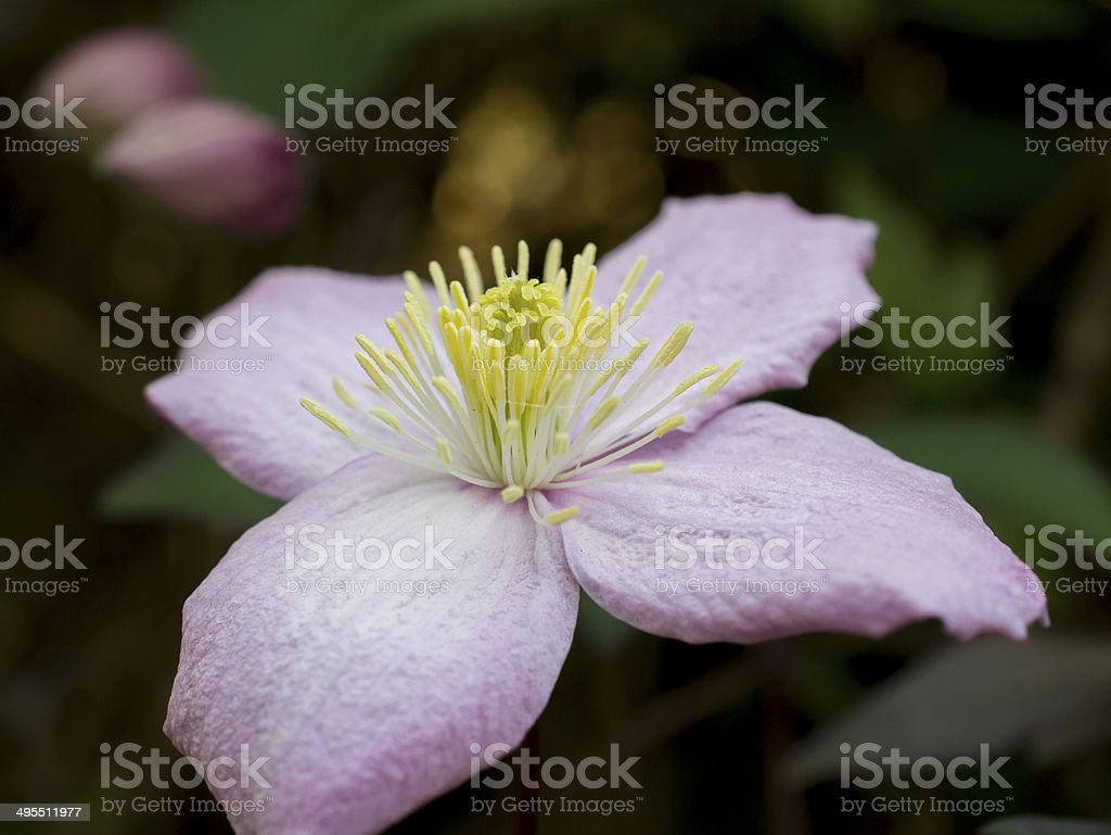 Pink Clematis Flower Yellow Centre Stock Photo Istock