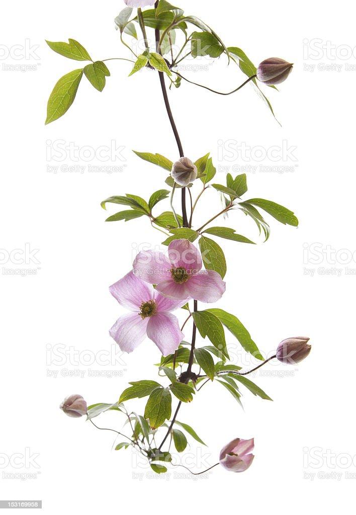 pink clematis stock photo