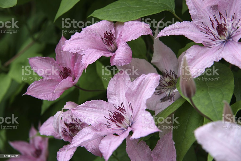 pink clematis royalty-free stock photo