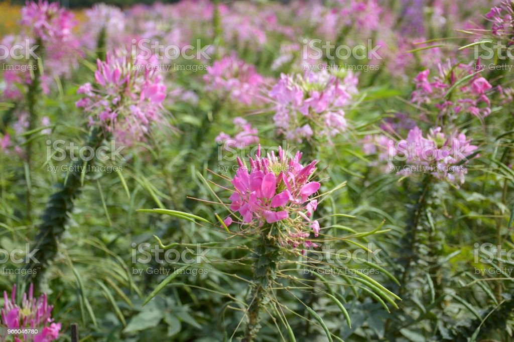 pink cleome spinosa flower in nature garden - Royalty-free Agricultural Field Stock Photo