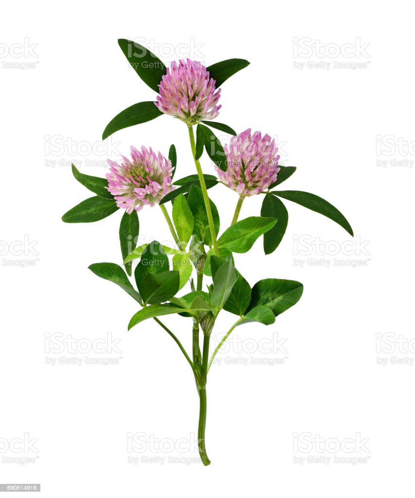 Pink Clover Flowers Bouquet Stock Photo More Pictures Of