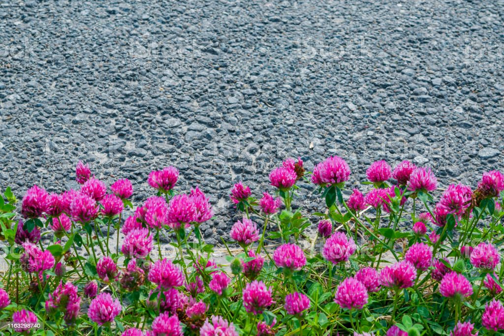 Pink clover flowers with green leaves on grey asphalt background with...