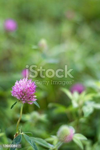Pink clover growing on a flower meadow