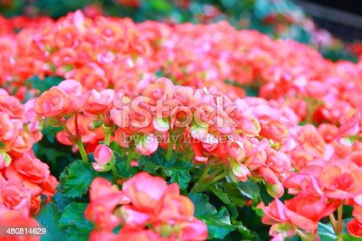 Pink color begonia