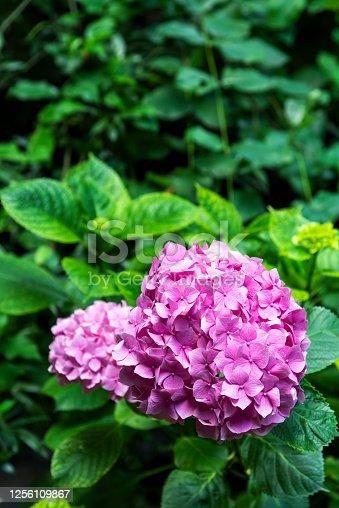 Pink color Hydrangea Flowers in Garden.