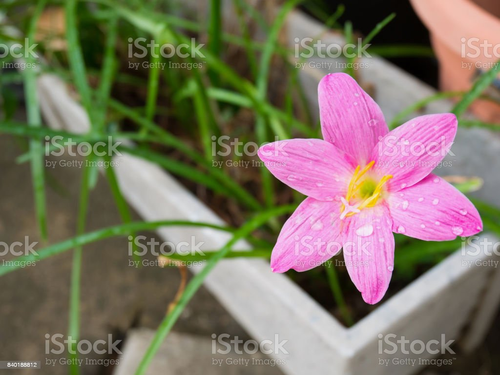 Pink Color Rain Lily Flower Stock Photo More Pictures Of
