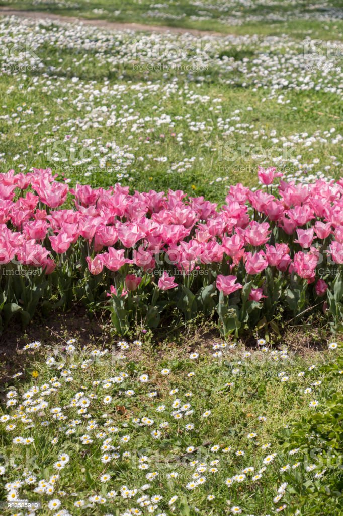 Pink color tulip flowers bloom stock photo