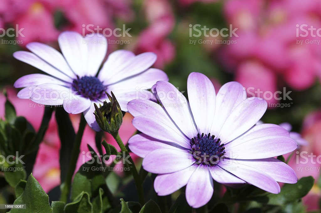 Pink colored cape aster stock photo