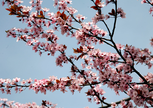 Beautiful flowering cherry tree springtime as a sukura background