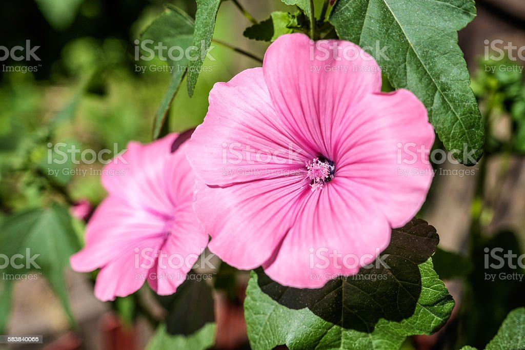 Pink colored flowers blooms on green blurry background stock photo pink colored flowers blooms on green blurry background royalty free stock photo mightylinksfo