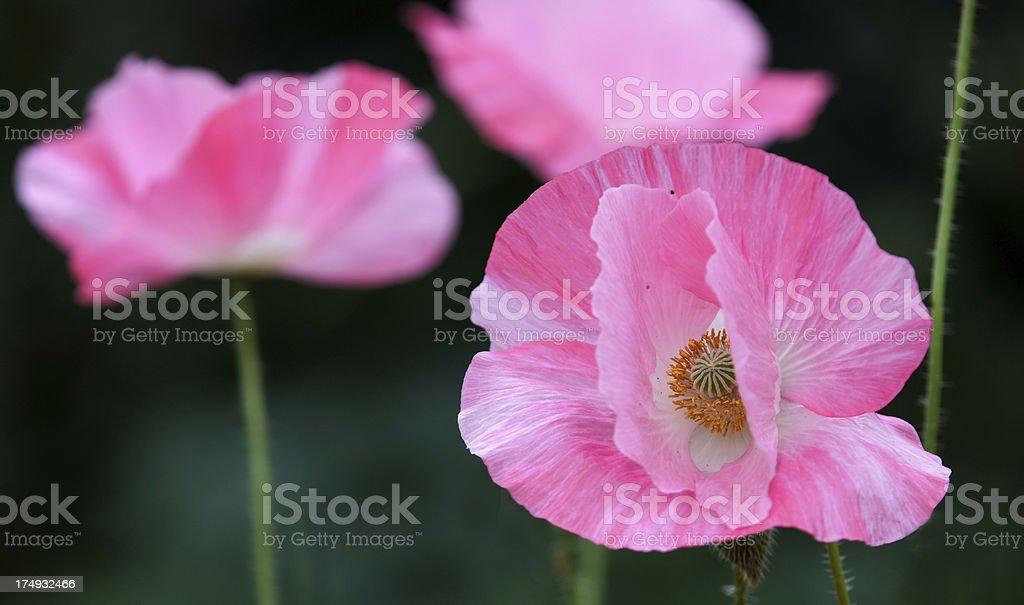Pink colored Papaver Somniferum flowers royalty-free stock photo