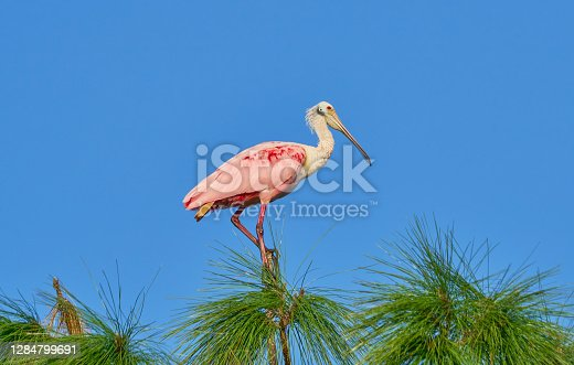 The beautiful roseate spoonbill in the natural surroundings of Orlando Wetlands Park in central Florida.  The park is a large marsh area which is home to numerous birds, mammals, and reptiles.