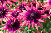 Pink colored Rudbeckia hirta, called black-eyed Susan, flowering plant in the sunflower family