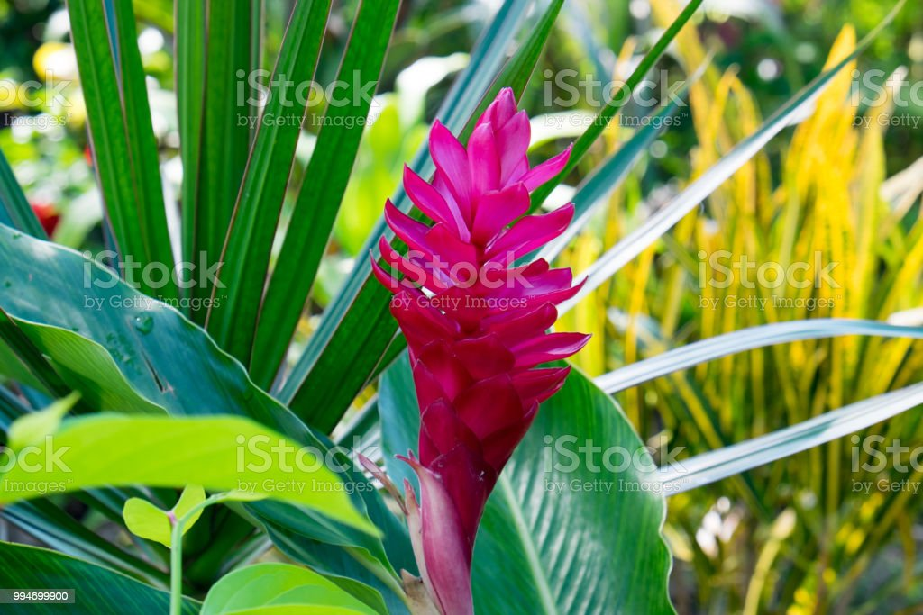 Pink colorful flower of tropical plant on upolu island samoa south pink colorful flower of tropical plant on upolu island samoa south pacific royalty mightylinksfo
