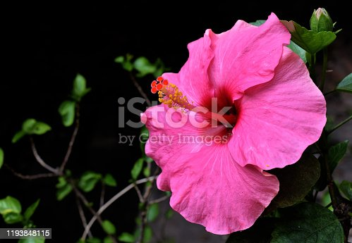Pink colour hibiscus flower (joba ful) with blurry plant leaves and dark background