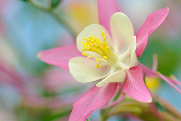 pink columbine - stamen stock photos and pictures