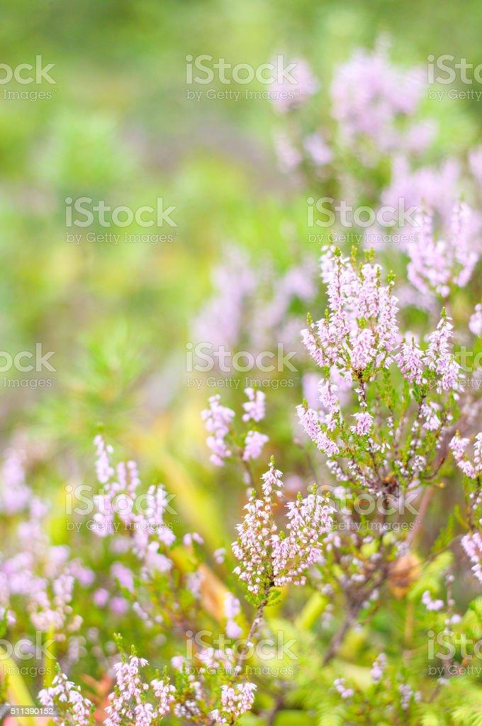 Pink common heather (Calluna vulgaris) blossoming in wood stock photo