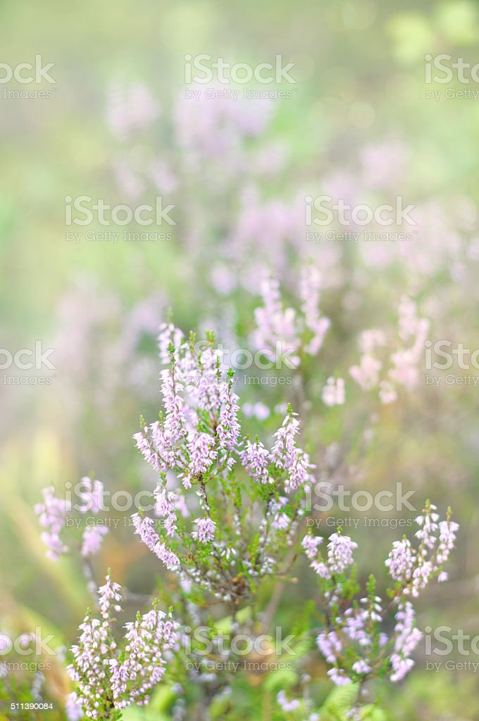 Pink common heather  blossoming outdoors stock photo