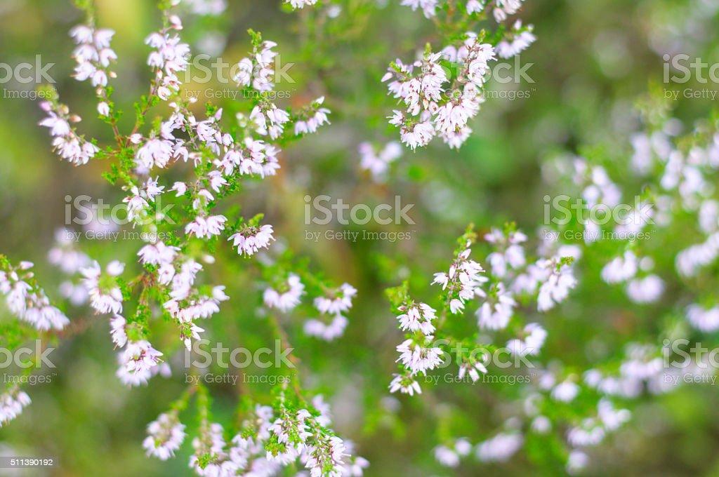 Pink common heather (Calluna vulgaris) blossoming outdoors stock photo