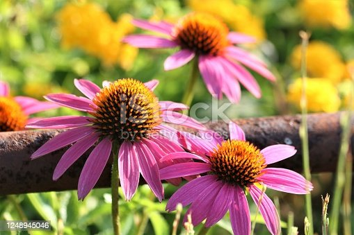 Close-up of two pink coneflowers growing in front of a rusty pipe fence, with pink and yellow flowers in the blurred background.