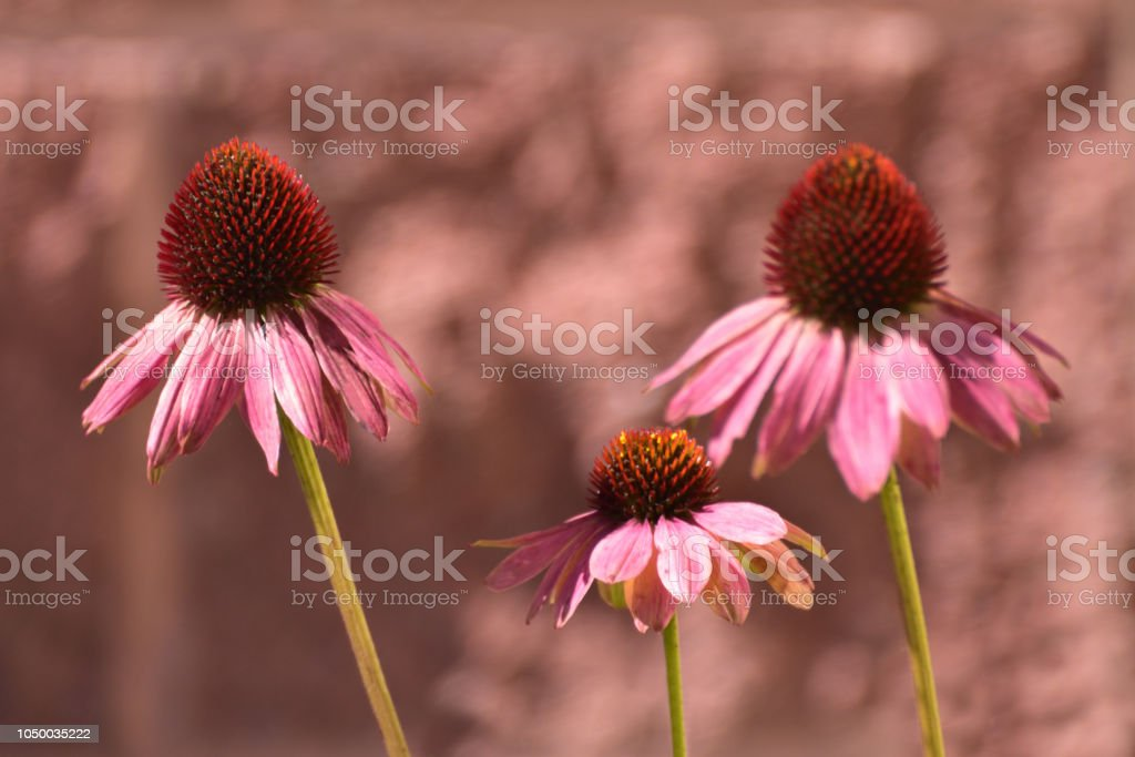 Pink Cone Flowers Close Up Abstract