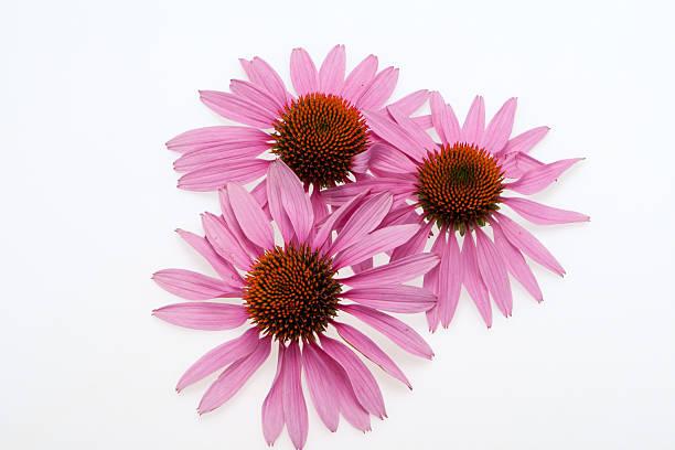 Pink coneflower head stock photo