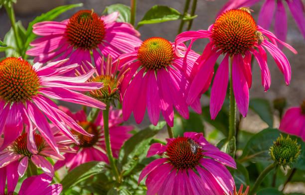 pink coneflower stock photo